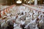 ارز مورد نیاز کالای اساسی صرف واردات مرغ شد