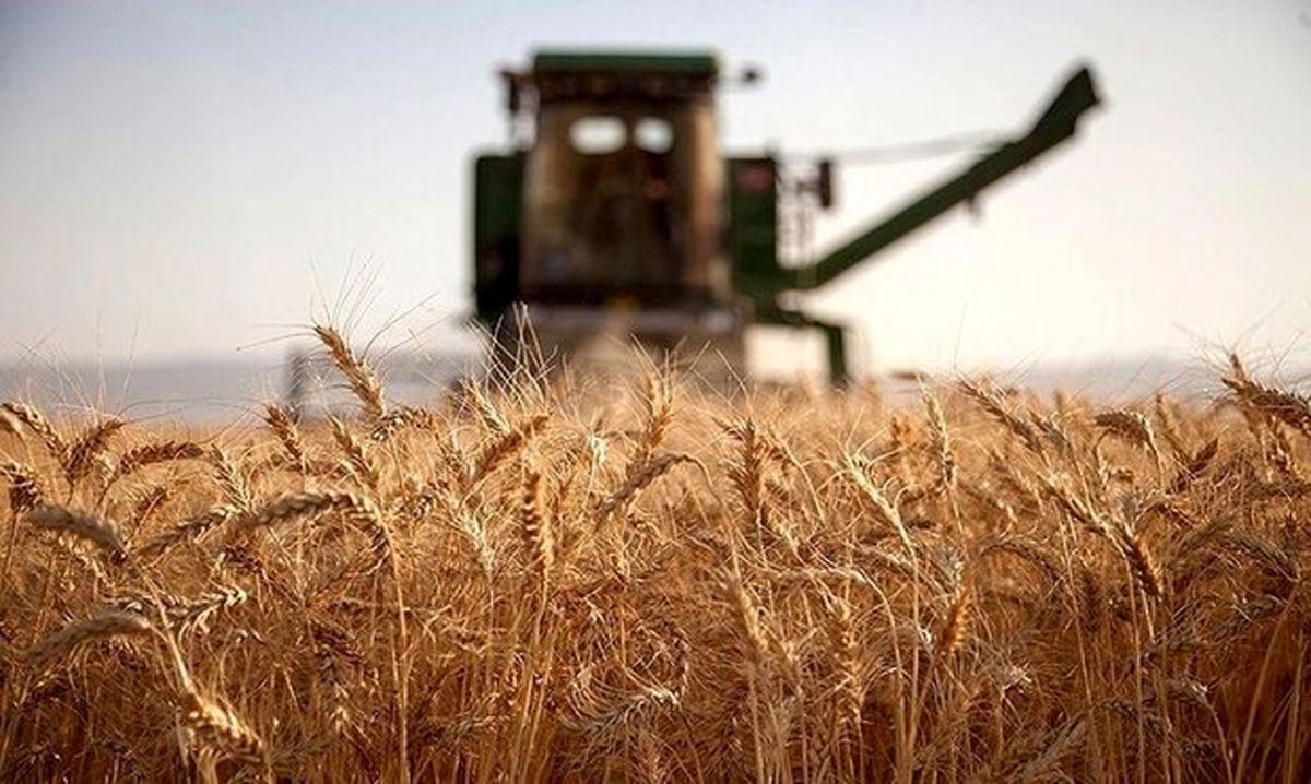 ورود گندم به چرخه خوراک دام به دنبال قیمت پایین