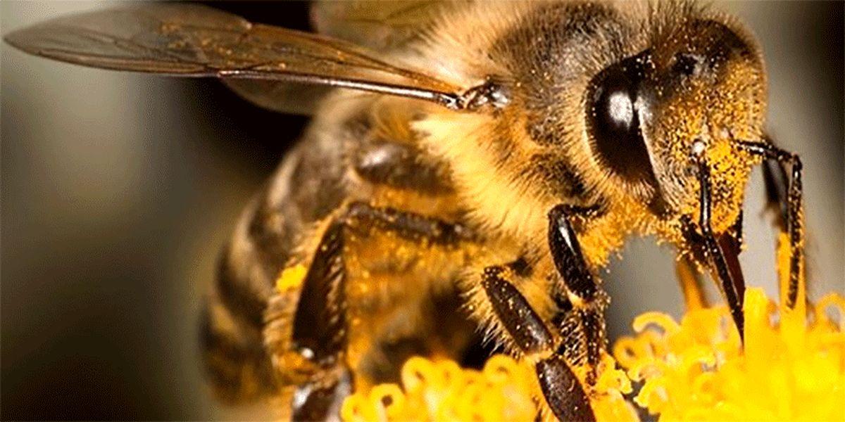 «نیش زنبور» بر درمان کرونا تأثیر دارد؟