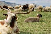 ۱۰۰ راس گوسفند در آتشسوزی تلف شدند