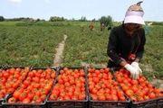 گوجه فرنگی ارزان میشود؟