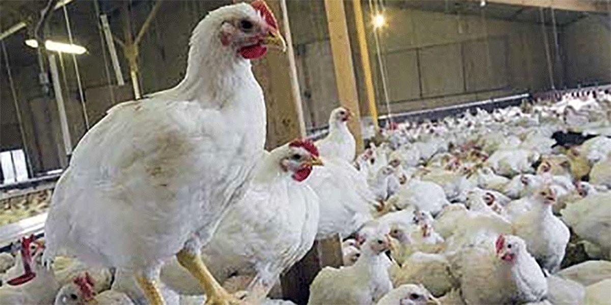 وعده؛ کاهش قیمت مرغ در راه است