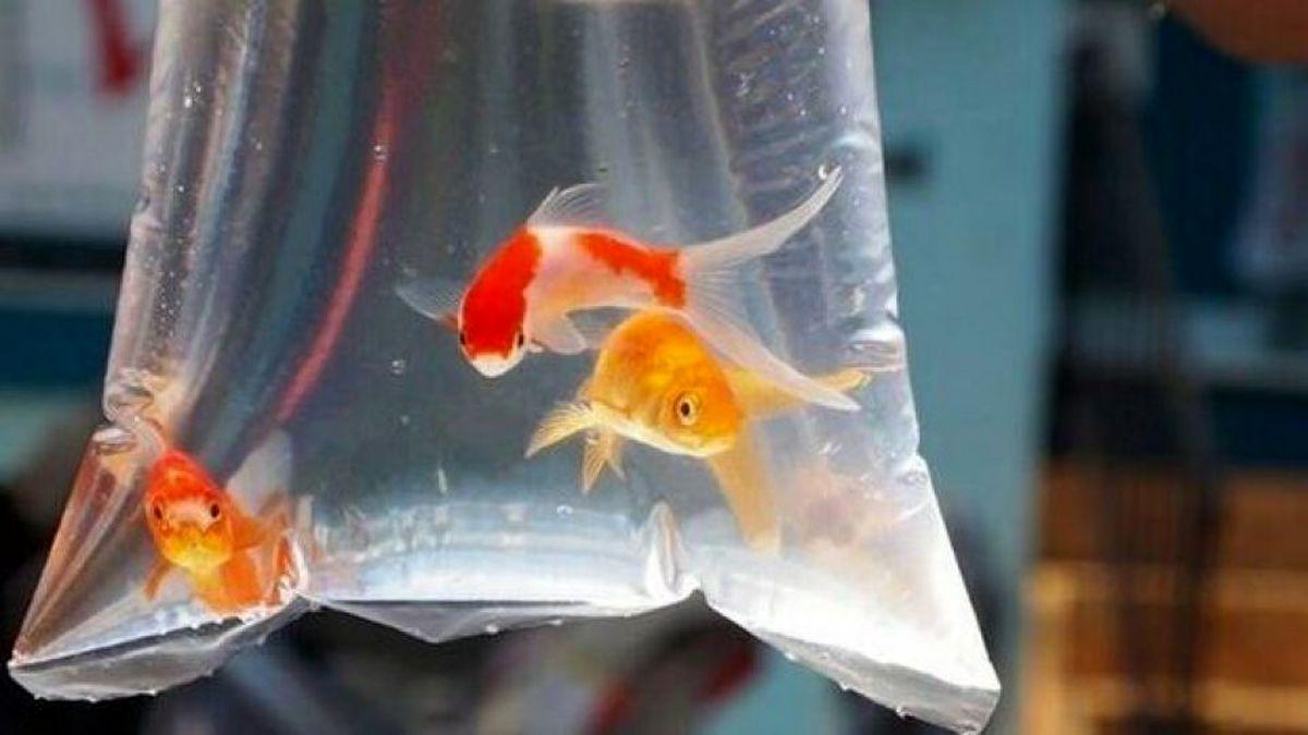 ماهی قرمز ناقل کرونا است؟
